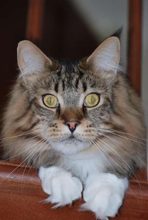 Maine Coon Mainecoon Cat Mackerel Tabby Purebred