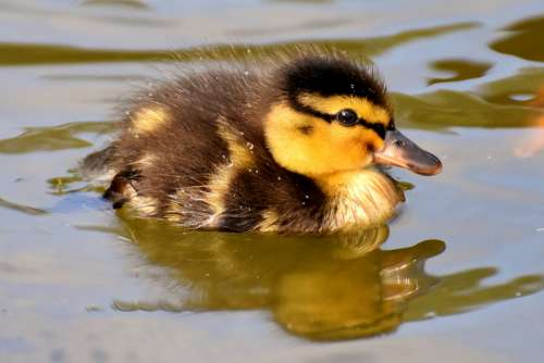 Mallard Ducklings Duck Chicks Cute Small Swim