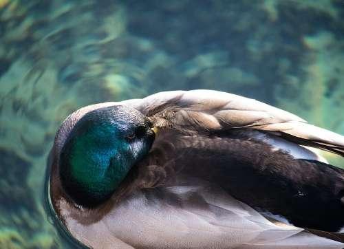 Mallard Duck Drake Animal Animal World Water Bird