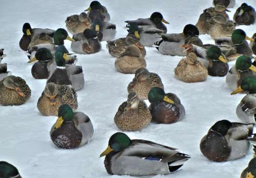 Mallard Ducks Nature Birds Snow Winter Canada