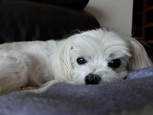 Maltese Puppy Dog Animal Pet Canine Companion