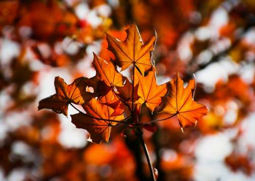 Maple Maple Leaves Autumn Colorful Red Leaves