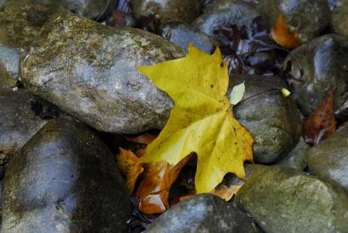 Maple Stones Leaves Leaf Autumn Nature Water