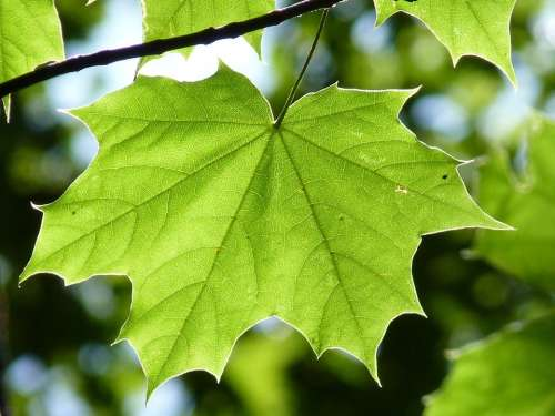 Maple Leaf Green Maple Leaf Tree Forest Nature