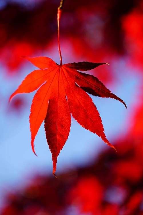 Maple Leaves Leaves Autumn Fall Foliage Maple