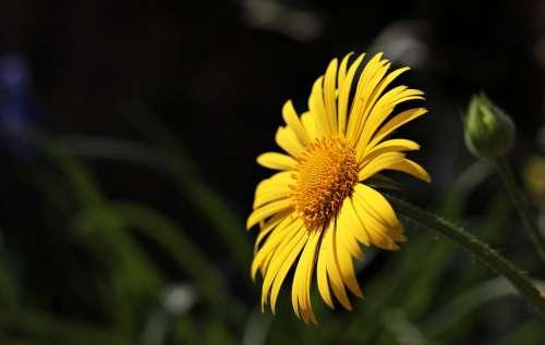 Marguerite Flower Argyranthemum Frutescens Plant