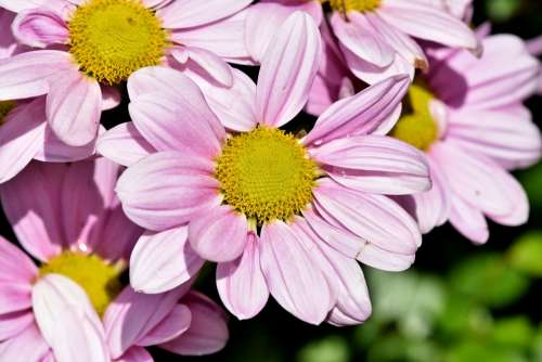 Marguerite Tree Daisy Ornamental Plant