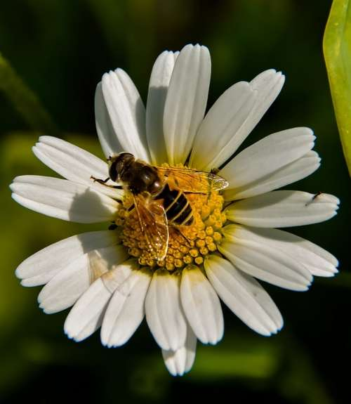 Marguerite Bee Flower Yellow White Insect