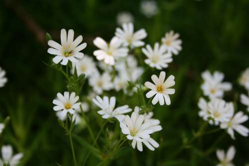 Marguerite Spring Daisy Flowers