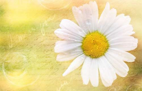 Marguerite Flower Blossom Bloom Plant Font