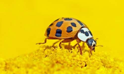 Marien-Beetles Harmonia Axyridis Lucky Ladybug