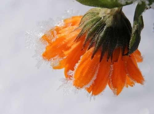 Marigold Blossom Bloom Gardening Frozen Frost