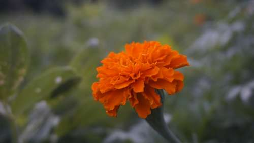 Marigold Orange Flowers Marigold Flower Nature