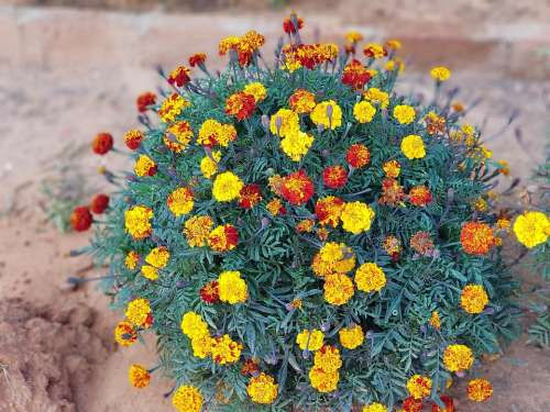 Marigold Flower Color Garden