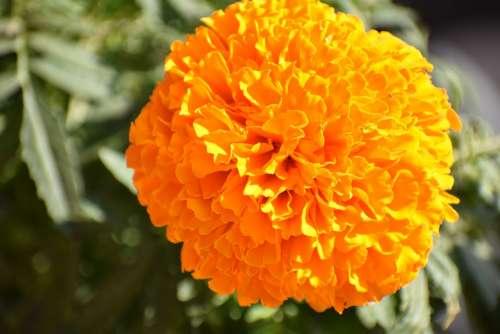 Marigold Plant Garden Flowers Gardening Nature