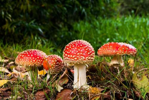 Matryoshka Red Fly Agaric Mushroom Mushrooms Forest