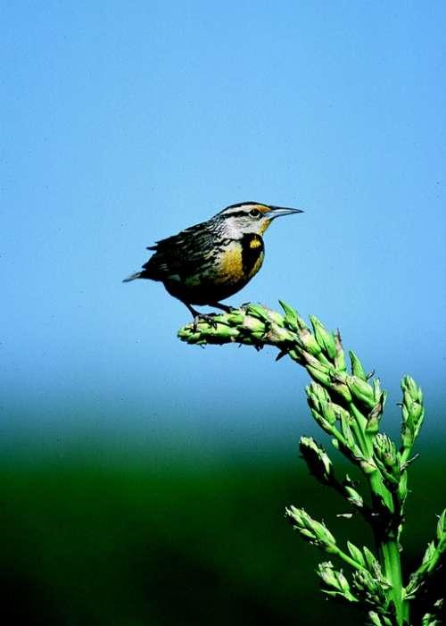 Meadowlark Bird Songbird Wildlife Nature Perched