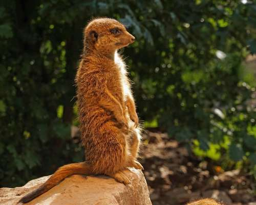 Meerkat Guards Attention Keep Watch Keep An Eye Out