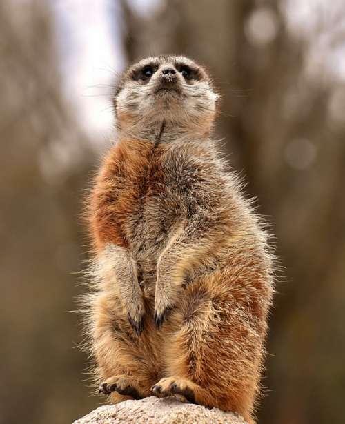 Meerkat Animal Tiergarten Fur Cute Mammal