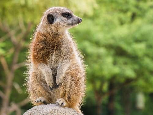 Meerkat Animal Nager Rodent Vigilant