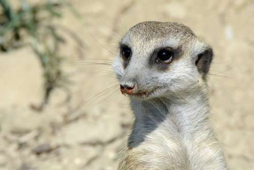 Meerkat Animal Cute Fur Sweet Mammal Nature