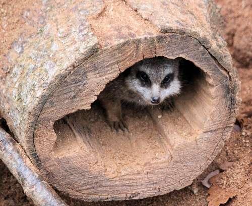 Meerkat Stash Nora Shelter Peek-A-Boo Pet Stump