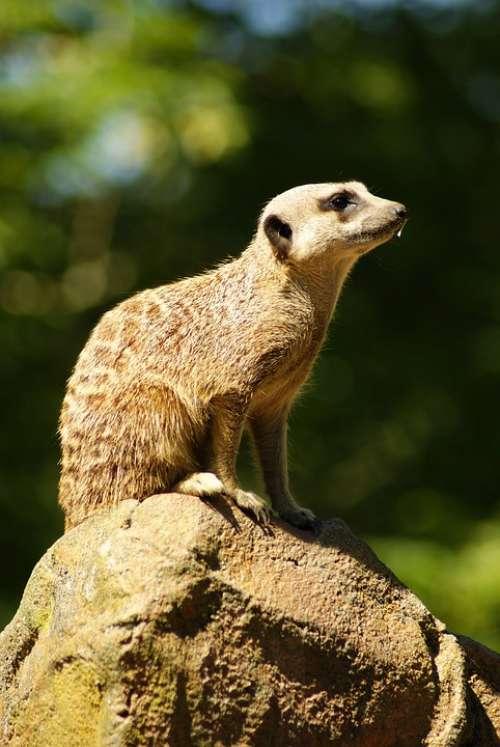 Meerkat Animal Zoo Mammal Sit Guard Portrait