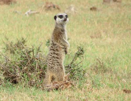 Meerkat South Africa Park Nature Mammal Animal