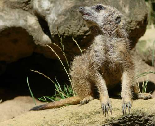 Meerkat Mongoose Guard Sentry Alert Cute Wildlife