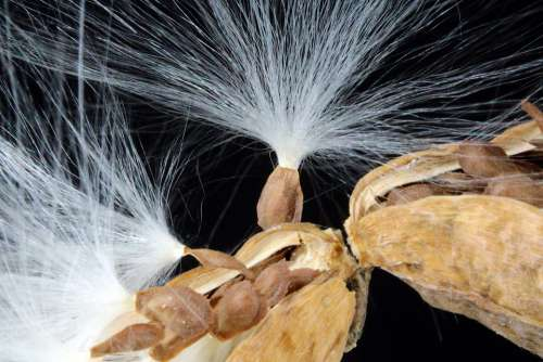 Milkweed Seeds Departure Spring Start Vines Plants