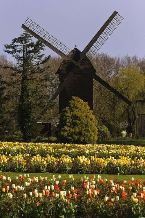 Mill Tulips Flowers Landscape Tulip Tulip Fields