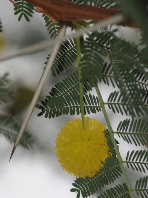 Mimosa Flower Thorn Thorny Yellow