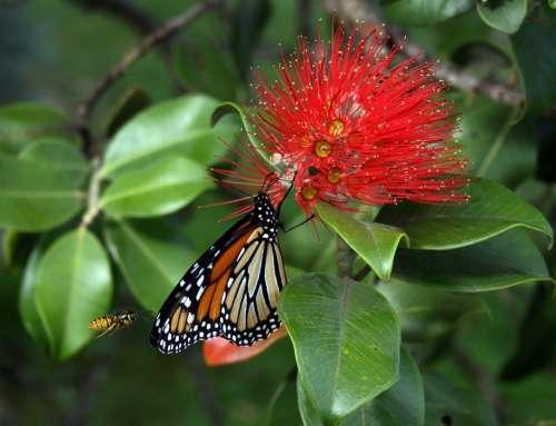 Monarch Butterfly Danaus Plexippus Wasp Flower