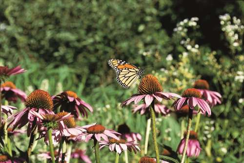 Monarch Butterfly Coneflower Purple Prairie Insect