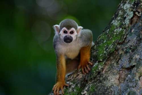 Monkey Ape Mammal Primate Animal Looking