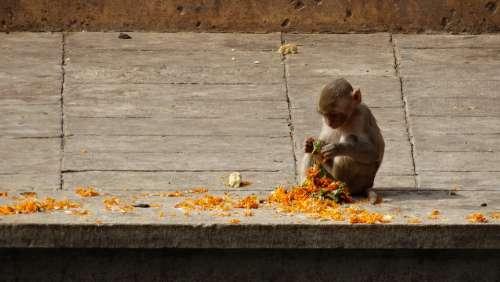 Monkey India Hinduism