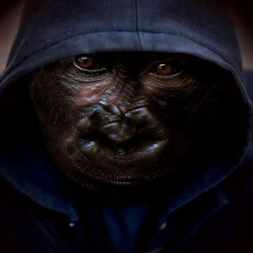 Monkey Hoodie Background Portrait Animal