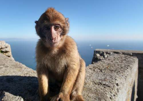 Monkey Baby Gibraltar Animal Landscape Travel