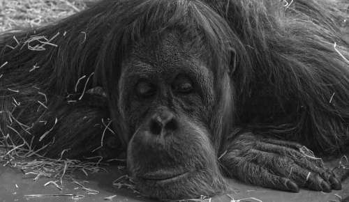 Monkey Primate Animal Mammal Chimpanzee Zoo