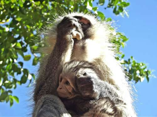Monkey Vervet Baby Infant South Africa