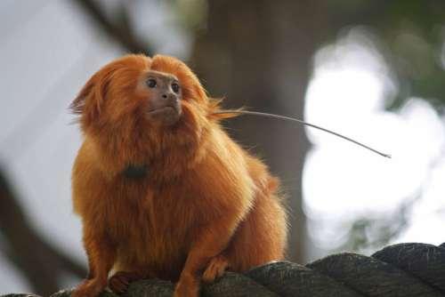 Monkey Tamarin Zoo Animal Wild Mammal Primate