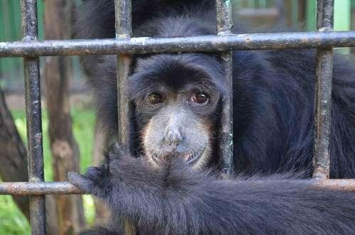 Monkey Ape Emcaged Cage Animal Captured Indonesia