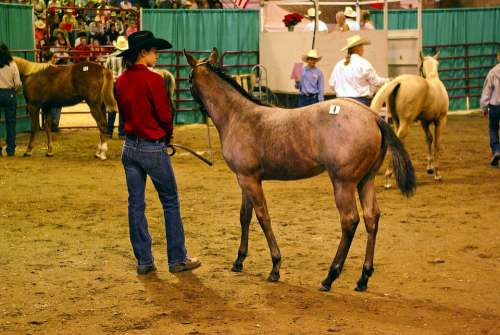 Montana Horse Auction Horse Filly Colt Equine