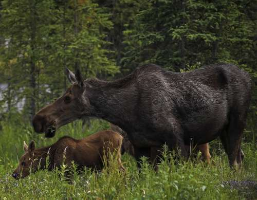 Moose Cow Calf Mother Baby Portrait Close Up