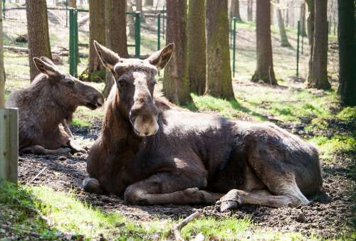 Moose Animal Wild Animal Hirsch Animal World