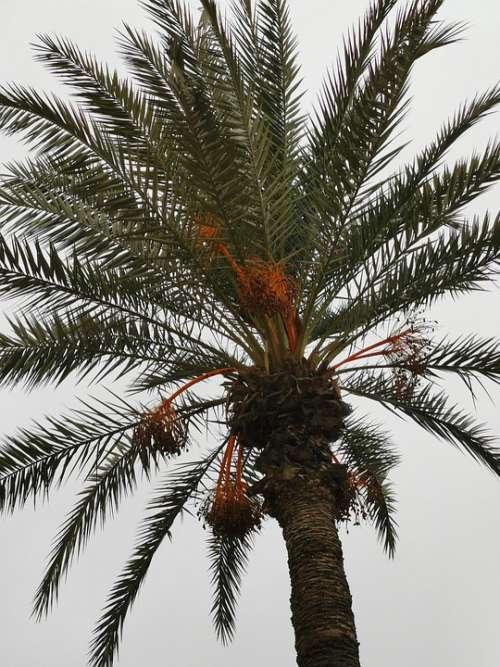 Morocco Palm Palm Trees Figs Palm Fronds Beach