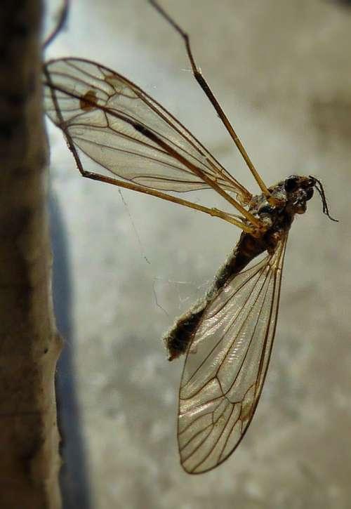 Mosquito Macro Wings Bug