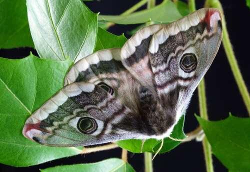 Moth Wings Antenna Female Pattern Batesian Mimicry