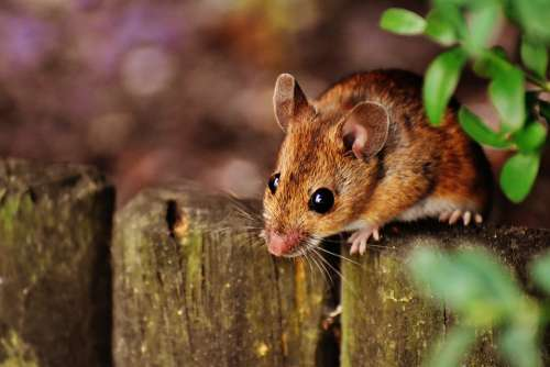 Mouse Rodent Cute Mammal Nager Nature Animal