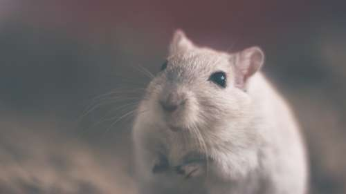 Mouse Rodent Animal Rat White Mammal Furry